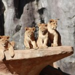 Young lions_sept 2015