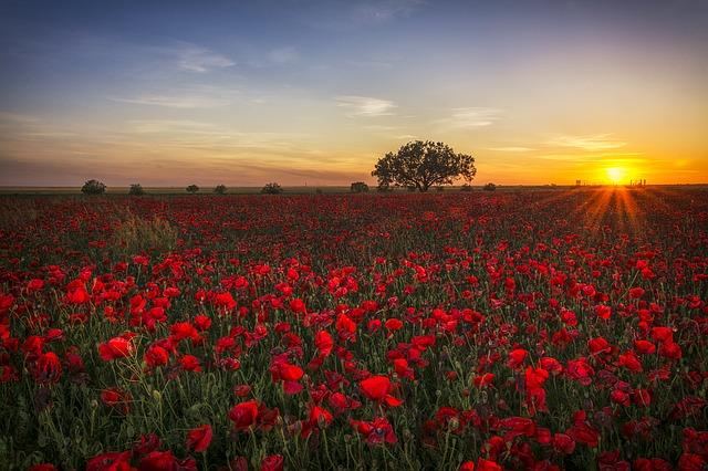 poppies-1086135_640